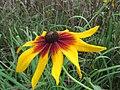 20120902Rudbeckia hirta02.jpg