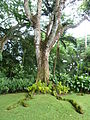 20131115 WahiawaBG ParkiaJavanica Cutler P1590996 (11166597385).jpg