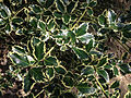 2014-08-29 13 46 22 Variegated English Holly at the Pinelands Preservation Alliance headquarters in Southampton Township, New Jersey.JPG