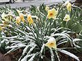 2015-04-08 07 57 58 A wet spring snow on Daffodil blossoms along 11th Street in Elko, Nevada.jpg