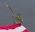 2015.07.07.-27-Mulde Eilenburg--Gruene Flussjungfer-Maennchen.jpg