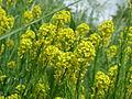 20150509Barbarea vulgaris4.jpg