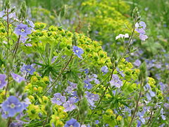 20150514Euphorbia cyparissias3.jpg