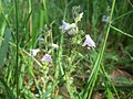 20160603Veronica officinalis1.jpg