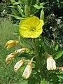 20160620Oenothera biennis1.jpg