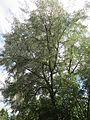 20160812Elaeagnus angustifolia6.jpg