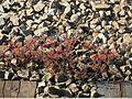 20160830Geranium robertianum1.jpg