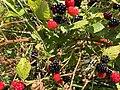 2017-07-14 13 36 31 Ripening blackberries along Stone Heather Drive in the Franklin Farm section of Oak Hill, Fairfax County, Virginia.jpg