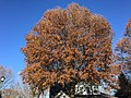 2017-11-24 13 38 10 Pin Oak in late autumn along Ladybank Lane in the Chantilly Highlands section of Oak Hill, Fairfax County, Virginia.jpg