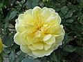 2018-06-01 (110) Yellow Rosa cultivars (rose) at Bichlhäusl in Frankenfels, Austria.jpg