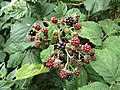 2018-08-12 Blackberry fruits (Rubus fruticosus), Paston way footpath, Gimingham.JPG