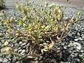 20180614Arenaria serpyllifolia3.jpg
