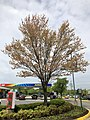 2019-04-25 12 08 14 A Red Maple heavily laden with mature seeds at the Franklin Farm Village Shopping Center in the Franklin Farm section of Oak Hill, Fairfax County, Virginia.jpg