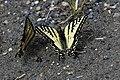 2019-06 Jasper National Park (07) Papilio canadensis.jpg