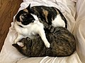 2020-04-18 12 52 03 A Calico cat and a tabby cat cuddling on a couch in the Franklin Farm section of Oak Hill, Fairfax County, Virginia.jpg