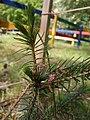 20200611 142758 Serbian spruce and flowers.jpg