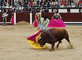 25-5-2016 Cordobina de Perera-Toro de el Vellosino.jpg