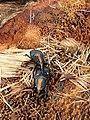 2 Beetles Mating.jpg