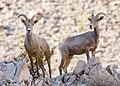 2 ewes (29922501015).jpg