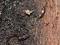 2 rove beetles (9708132881).jpg