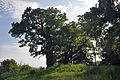 46-236-5008 Pidhirne Oak Trees RB.jpg