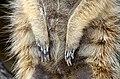 50 Jahre Knie's Kinderzoo - Suricata suricatta (Erdmännchen) 2012-10-03 16-27-22.JPG