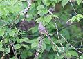 5321 female western taneger munsel odfw (5881967830).jpg
