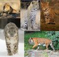 5 Panthera.png