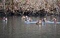 7 mandarin duckmales fighting for 1 wife at Schaarsbergen - panoramio.jpg