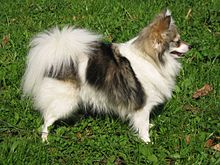 Japanese Spitz Dogs For Sale In Pejl