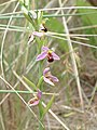 A Bee Orchid (Ophrys apifera) taken at Poppit Sand Dunes - geograph.org.uk - 196723.jpg