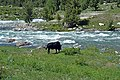 A Bull near Rainbow Lake, Domel.jpg
