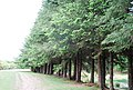 A Stand of Conifers - geograph.org.uk - 1333488.jpg