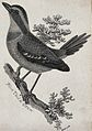 A blue tailed crow sitting on a branch of a tree. Etching by Wellcome V0021207ER.jpg