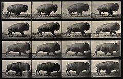 A buffalo walking. Photogravure after Eadweard Muybridge, 18 Wellcome V0048766.jpg