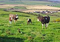 A field with cows and their calves - geograph.org.uk - 1387868.jpg