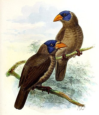 Naked-faced barbet - male (left) and female (right)