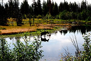 English: A female moose with reflection in Gra...