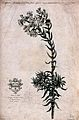 A plant (Cotyledon africana); flowering stem, with coat of a Wellcome V0043106.jpg