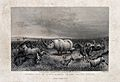 A rhinoceros stands in the midst of a herd of stampeding ani Wellcome V0022818.jpg