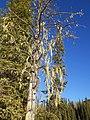 A tree with hanging moss, Gregg Lake (2016).jpg