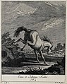 A two-year old filly baulking in the paddock. Etching by J. Wellcome V0021145EL.jpg