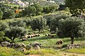 Aalook nature, Sheep and trees - panoramio.jpg