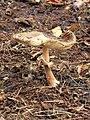 Aangetaste paddenstoel 02.JPG