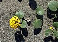 Abronia latifolia kz1.jpg