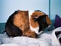 Abyssinian guinea pig.jpg