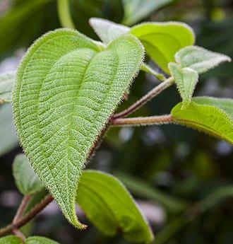 Acalypha - Acalypha cuneata