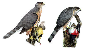 Cooper's hawk - Comparison of a male Cooper's hawk (left) with a female sharp-shinned hawk (right)