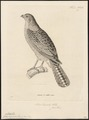 Accipiter torquatus - 1700-1880 - Print - Iconographia Zoologica - Special Collections University of Amsterdam - UBA01 IZ18300125.tif