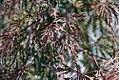 Acer palmatum var. dissectum Tamukeyama 0zz.jpg